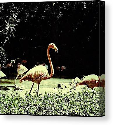 Flamingos Canvas Prints