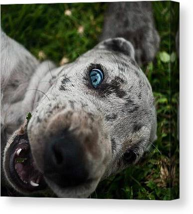 Great Danes Canvas Prints