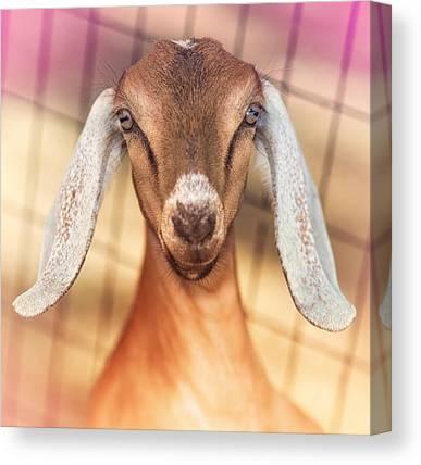 Goat Canvas Prints