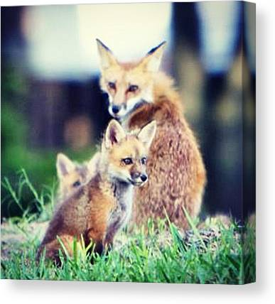 Foxes Canvas Prints
