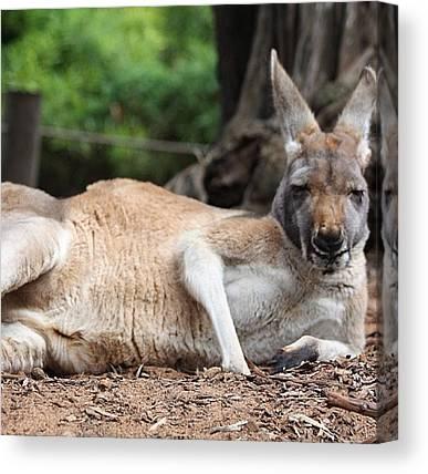 Kangaroo Canvas Prints