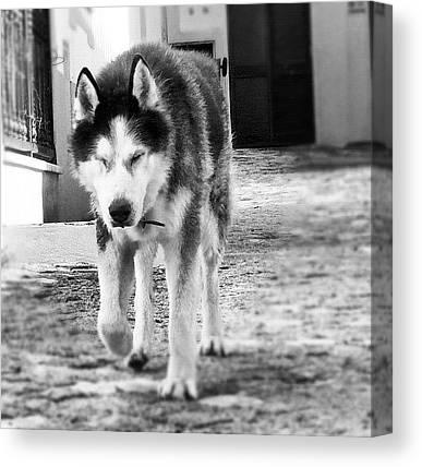Huskies Canvas Prints