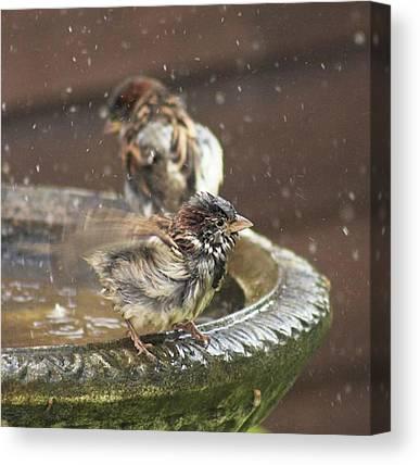 Sparrows Canvas Prints