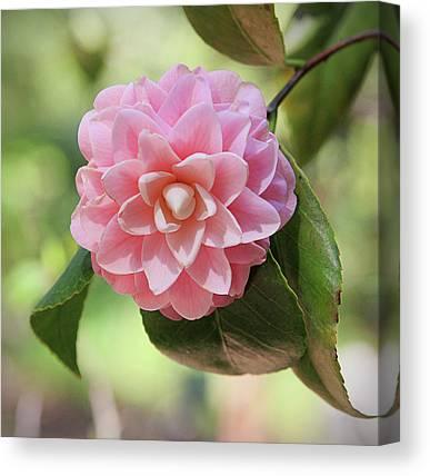 Camellias Canvas Prints