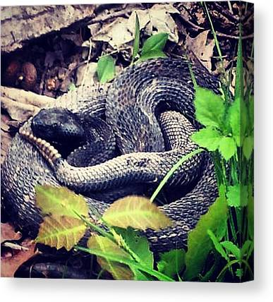 Timber Rattlesnakes Canvas Prints