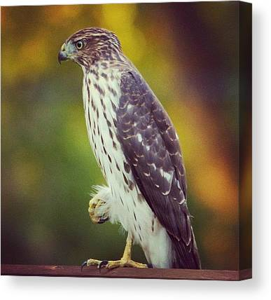 Hawks Canvas Prints