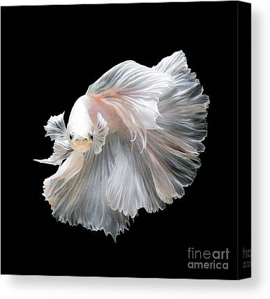 Siamese Fighting Fish Canvas Prints