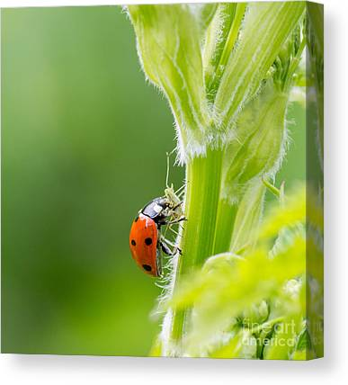 Coleoptera Canvas Prints