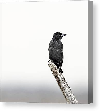 Red Winged Blackbird Canvas Prints