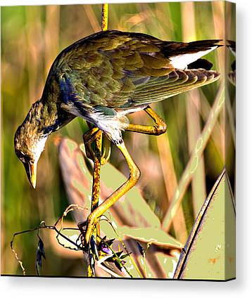 Green Cay Wetlands Canvas Prints