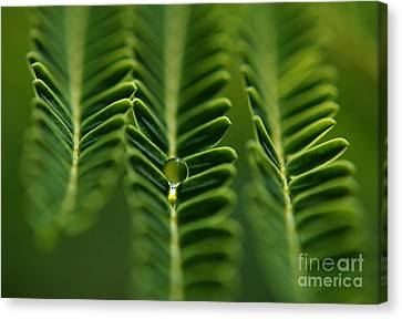 Canvas Print featuring the photograph  A Green Drop by Michelle Meenawong