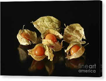 A Taste Of Columbia Physalis Aztec Golden Goose Berry  Canvas Print by Inspired Nature Photography Fine Art Photography