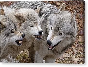 Canvas Print featuring the photograph  Alpha Displeasure 2 by Wolves Only