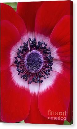 Anemone Coronaria Harmony Scarlet Flower Canvas Print by Tim Gainey