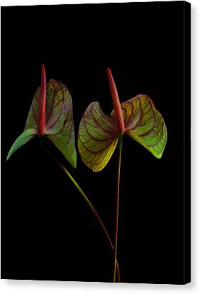 Canvas Print featuring the photograph  Anthurium 1 by Thomas Born