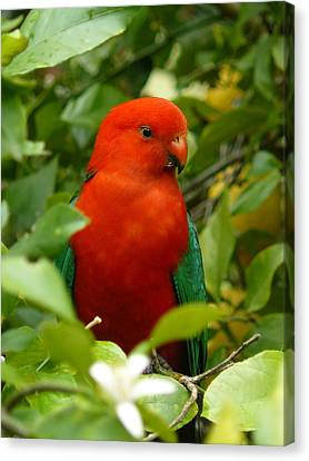 Canvas Print featuring the photograph  Aussie King Parrot by Margaret Stockdale