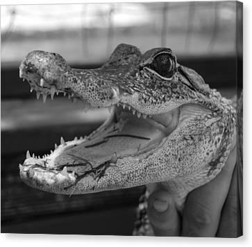 Baby Gator B W Canvas Print by Rob Hans