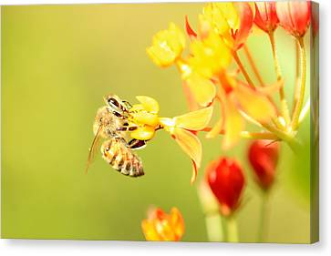 Canvas Print featuring the photograph  Bee On Milkweed by Greg Allore