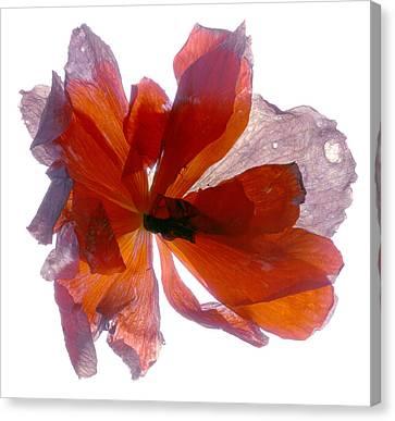 Begonia Round Canvas Print