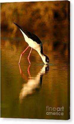 Canvas Print featuring the photograph  Black-necked Stilt Reflection by John F Tsumas