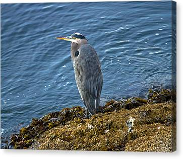 Canvas Print featuring the photograph  Blue Heron On A Rock by Eti Reid