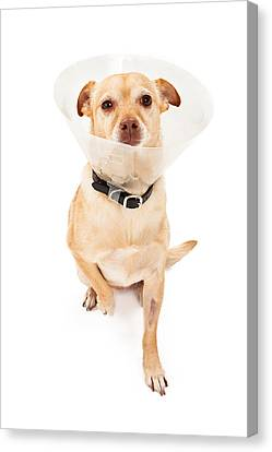 Chihuahua Mix Dog With Cone  Canvas Print