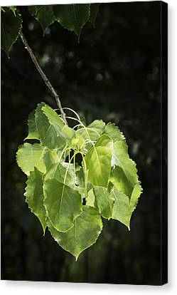 Cottonwood Tree Leaves Canvas Print