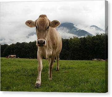 Cow In Switzerland Canvas Print by Gynt