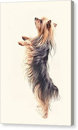 Dancing Yorkshire Terrier Canvas Print by Susan Stone