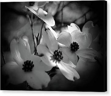 Dogwood Blossoms-bk-wh-v Canvas Print by Eva Thomas