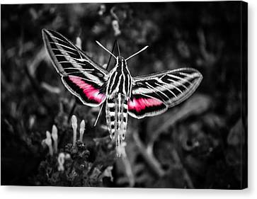 Hummingbird Moth Bw Print Canvas Print by Doug Long