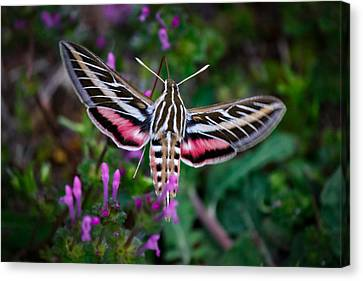 Hummingbird Moth Print Canvas Print by Doug Long