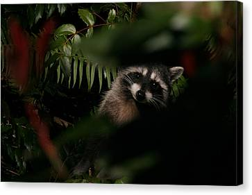 Canvas Print featuring the photograph  I Can See You  Mr. Raccoon by Kym Backland
