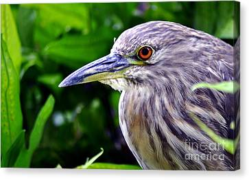 Juvenile Black Crowned Night Heron Canvas Print