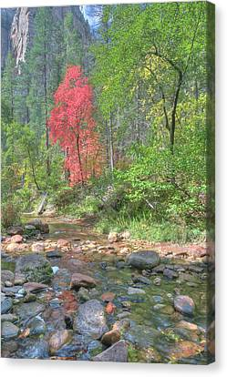 Canvas Print featuring the photograph  Lone Maple Fall Creek by Harold Rau