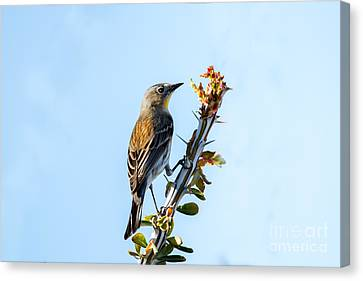 Migrating Warbler Canvas Print by Robert Bales