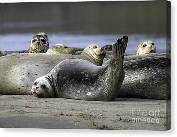 Nestucca Bay Harbor Seals Canvas Print by Tim Moore