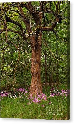 Oak Tree And Dame's Rocket Canvas Print by Randy Pollard