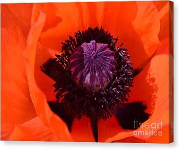 Orange Poppy Canvas Print by Kathleen Struckle