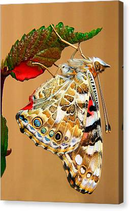 Painted Lady Butterfly Canvas Print by David and Carol Kelly