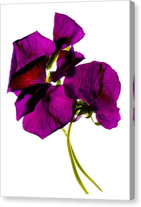 Pansies IIi Canvas Print