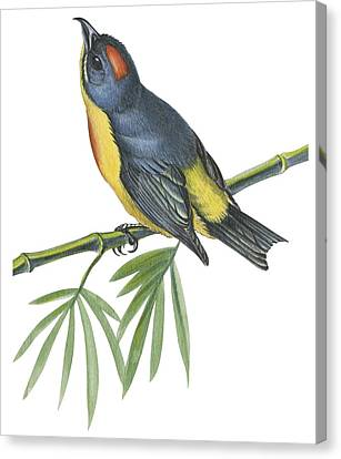 Philippine Flowerpecker Canvas Print by Anonymous