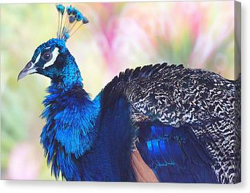Prime Peacock Canvas Print by DerekTXFactor Creative