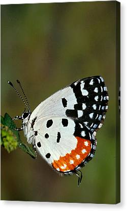 Red Pierrot Butterfly Canvas Print by Anonymous