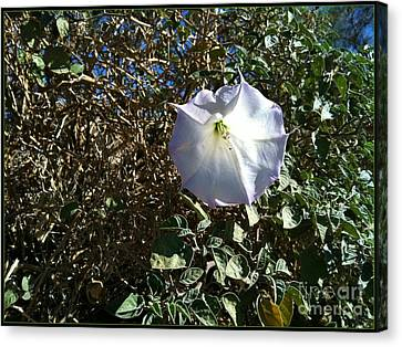 Sacred Datura Canvas Print by Angela J Wright