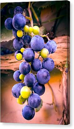 Concord Grapes Canvas Print -  Taste Of Nature by Karen Wiles
