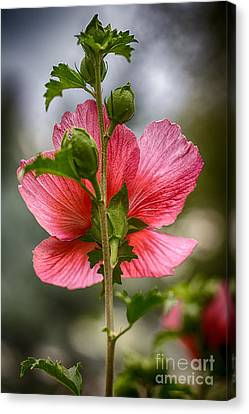 Through Rose Of Sharon Hdr Canvas Print by Mitch Johanson