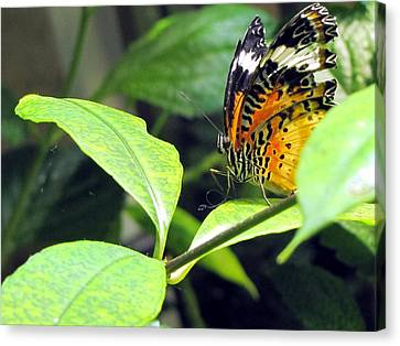 Tiger Wings Canvas Print by Jennifer Wheatley Wolf