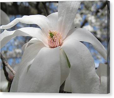Willowy Magnolia Blossom Canvas Print by Tina M Wenger