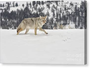 Winter's Determination Canvas Print